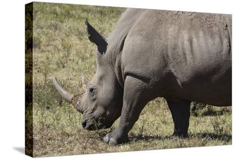 South Durban. Tala Game Reserve. White Rhino-Cindy Miller Hopkins-Stretched Canvas Print