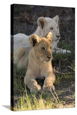 South Africa, East London. Inkwenkwezi Game Reserve. Lion Cubs-Cindy Miller Hopkins-Stretched Canvas Print