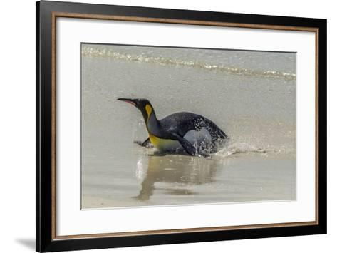 Falkland Islands, East Falkland. King Penguin on Beach-Cathy & Gordon Illg-Framed Art Print