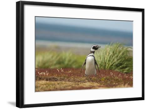 Falkland Islands, Sea Lion Island. Solitary Magellanic Penguin-Cathy & Gordon Illg-Framed Art Print