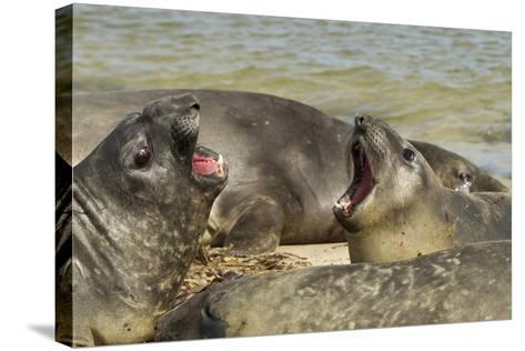 Falkland Islands, Carcass Island. Southern Elephant Seals Arguing-Cathy & Gordon Illg-Stretched Canvas Print