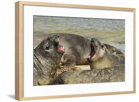 Falkland Islands, Carcass Island. Southern Elephant Seals Arguing-Cathy & Gordon Illg-Framed Art Print