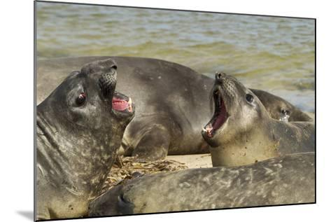 Falkland Islands, Carcass Island. Southern Elephant Seals Arguing-Cathy & Gordon Illg-Mounted Photographic Print