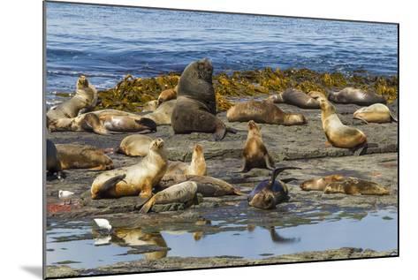 Falkland Islands, Bleaker Island. Southern Sea Lions Near Water-Cathy & Gordon Illg-Mounted Photographic Print