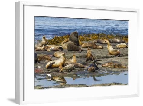 Falkland Islands, Bleaker Island. Southern Sea Lions Near Water-Cathy & Gordon Illg-Framed Art Print