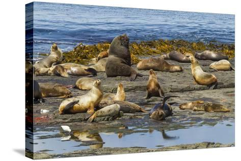Falkland Islands, Bleaker Island. Southern Sea Lions Near Water-Cathy & Gordon Illg-Stretched Canvas Print