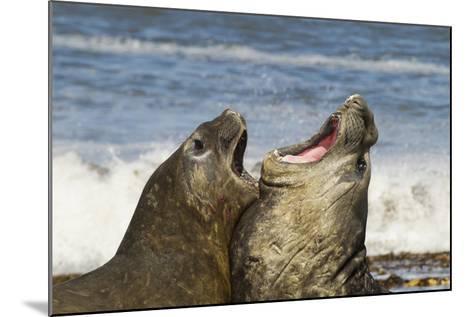 Falkland Islands, Sea Lion Island. Southern Elephant Seals Fighting-Cathy & Gordon Illg-Mounted Photographic Print