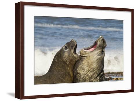 Falkland Islands, Sea Lion Island. Southern Elephant Seals Fighting-Cathy & Gordon Illg-Framed Art Print