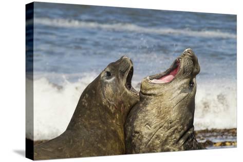 Falkland Islands, Sea Lion Island. Southern Elephant Seals Fighting-Cathy & Gordon Illg-Stretched Canvas Print