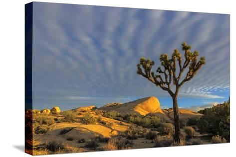 Joshua Trees in Sunset Light in Joshua Tree NP, California, USA-Chuck Haney-Stretched Canvas Print