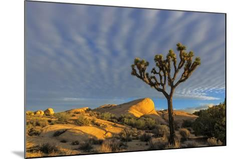 Joshua Trees in Sunset Light in Joshua Tree NP, California, USA-Chuck Haney-Mounted Photographic Print