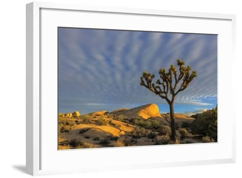 Joshua Trees in Sunset Light in Joshua Tree NP, California, USA-Chuck Haney-Framed Art Print