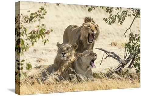 Namibia, Damaraland, Palwag Concession. Three Lions Resting-Wendy Kaveney-Stretched Canvas Print