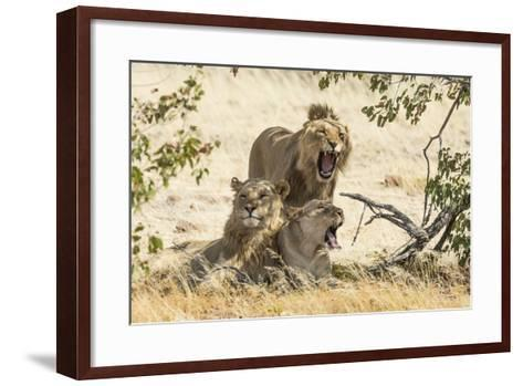 Namibia, Damaraland, Palwag Concession. Three Lions Resting-Wendy Kaveney-Framed Art Print