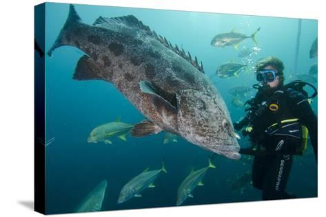 Potato Cod, Diver and Blacktip Trevally, KwaZulu-Natal, South Africa-Pete Oxford-Stretched Canvas Print