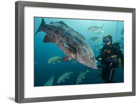 Potato Cod, Diver and Blacktip Trevally, KwaZulu-Natal, South Africa-Pete Oxford-Framed Art Print