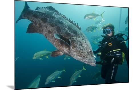 Potato Cod, Diver and Blacktip Trevally, KwaZulu-Natal, South Africa-Pete Oxford-Mounted Photographic Print