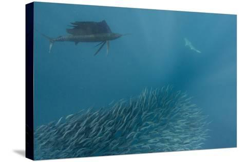 Sailfish and Bronze Whaler Shark Feeding, Eastern Cape, South Africa-Pete Oxford-Stretched Canvas Print