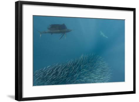 Sailfish and Bronze Whaler Shark Feeding, Eastern Cape, South Africa-Pete Oxford-Framed Art Print