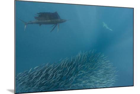 Sailfish and Bronze Whaler Shark Feeding, Eastern Cape, South Africa-Pete Oxford-Mounted Photographic Print