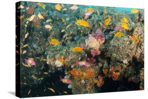 Soft Coral and Reef Fish, Aliwal Shoal, KwaZulu-Natal, South Africa-Pete Oxford-Stretched Canvas Print