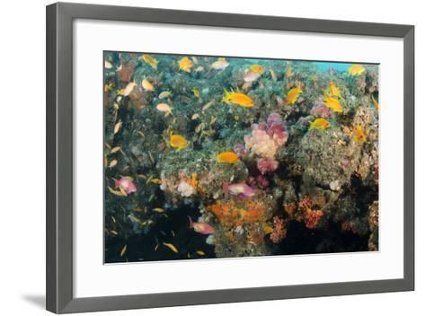 Soft Coral and Reef Fish, Aliwal Shoal, KwaZulu-Natal, South Africa-Pete Oxford-Framed Art Print