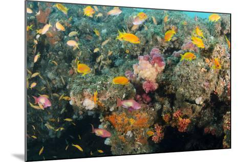 Soft Coral and Reef Fish, Aliwal Shoal, KwaZulu-Natal, South Africa-Pete Oxford-Mounted Photographic Print
