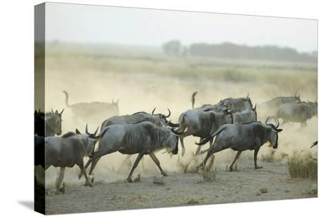 Kenya, Amboseli National Park, Wildebeest Running at Sunset-Anthony Asael-Stretched Canvas Print
