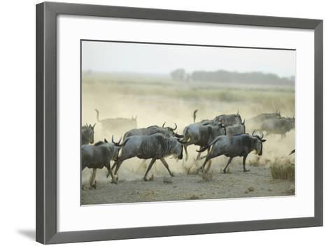 Kenya, Amboseli National Park, Wildebeest Running at Sunset-Anthony Asael-Framed Art Print