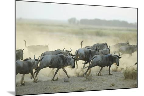 Kenya, Amboseli National Park, Wildebeest Running at Sunset-Anthony Asael-Mounted Photographic Print