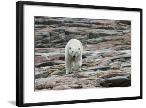Canada, Nunavut, Repulse Bay, Polar Bear Walking across Rock Surface-Paul Souders-Framed Art Print