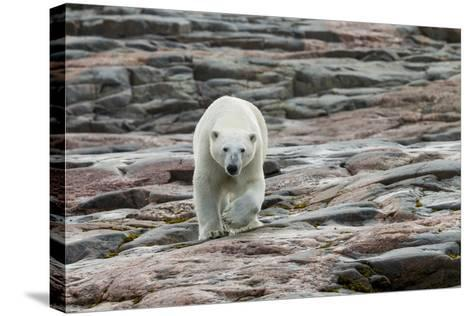 Canada, Nunavut, Repulse Bay, Polar Bear Walking across Rock Surface-Paul Souders-Stretched Canvas Print