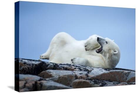 Canada, Nunavut Territory, Repulse Bay, Male Polar Bear Yawning-Paul Souders-Stretched Canvas Print