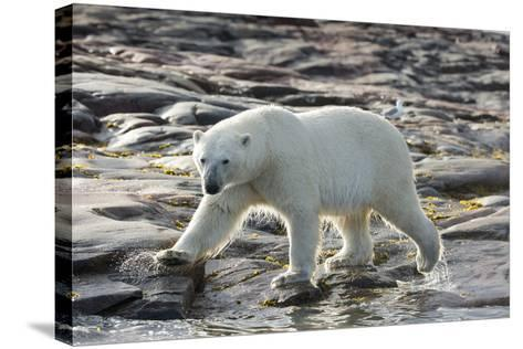 Canada, Nunavut, Repulse Bay, Polar Bear Patrolling Along Shoreline-Paul Souders-Stretched Canvas Print