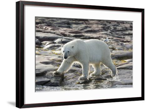 Canada, Nunavut, Repulse Bay, Polar Bear Patrolling Along Shoreline-Paul Souders-Framed Art Print