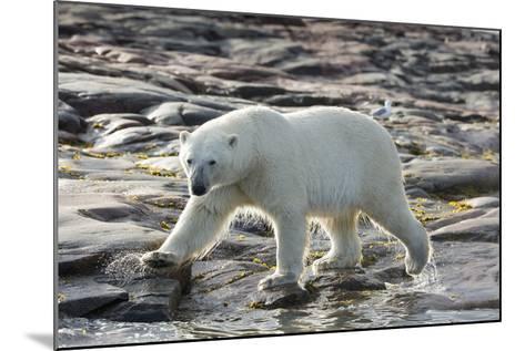 Canada, Nunavut, Repulse Bay, Polar Bear Patrolling Along Shoreline-Paul Souders-Mounted Photographic Print