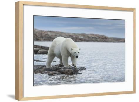 Canada, Nunavut, Repulse Bay, Polar Bear Walking Along Shoreline-Paul Souders-Framed Art Print