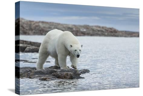 Canada, Nunavut, Repulse Bay, Polar Bear Walking Along Shoreline-Paul Souders-Stretched Canvas Print