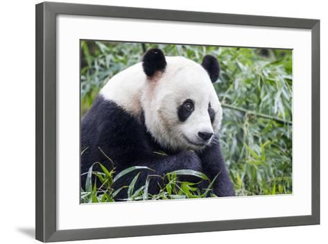 China, Sichuan, Chengdu, Giant Panda Bear Feeding on Bamboo Shoots-Paul Souders-Framed Art Print