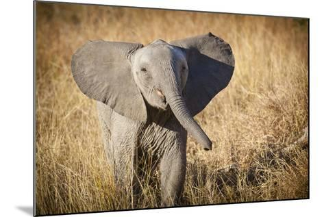 Londolozi Game Reserve, South Africa. Young Bush Elephant-Janet Muir-Mounted Photographic Print