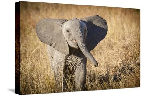 Londolozi Game Reserve, South Africa. Young Bush Elephant-Janet Muir-Stretched Canvas Print