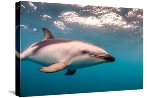 A Dusky Dolphin Swimming Off the Kaikoura Peninsula, New Zealand-James White-Stretched Canvas Print