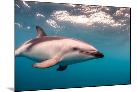 A Dusky Dolphin Swimming Off the Kaikoura Peninsula, New Zealand-James White-Mounted Photographic Print