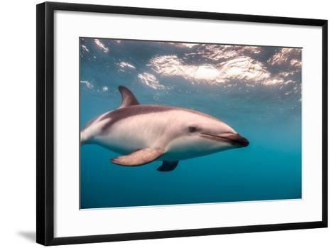 A Dusky Dolphin Swimming Off the Kaikoura Peninsula, New Zealand-James White-Framed Art Print