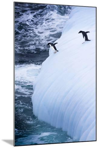 Antarctica. Adelie Penguins Jump of an Iceberg-Janet Muir-Mounted Photographic Print