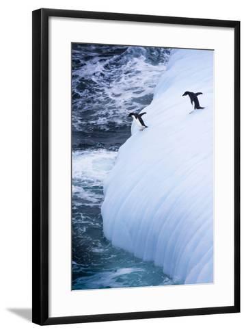 Antarctica. Adelie Penguins Jump of an Iceberg-Janet Muir-Framed Art Print