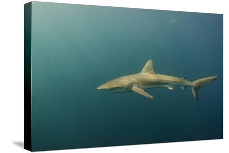 Bronze Whaler Shark, Sardine Run, Eastern Cape, South Africa-Pete Oxford-Stretched Canvas Print