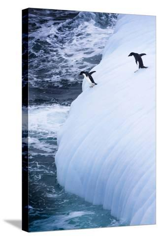 Antarctica. Adelie Penguins Jump of an Iceberg-Janet Muir-Stretched Canvas Print