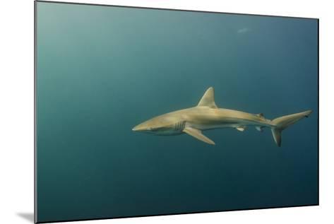 Bronze Whaler Shark, Sardine Run, Eastern Cape, South Africa-Pete Oxford-Mounted Photographic Print
