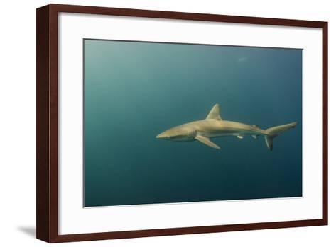 Bronze Whaler Shark, Sardine Run, Eastern Cape, South Africa-Pete Oxford-Framed Art Print